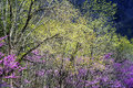 Redbud Tree blooms and new growth in the Smokies. Royalty Free Stock Photo