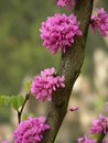 Redbud tree blossoming blossom with red flowers on gray background Stock Images
