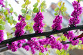 Redbud tree in rain Royalty Free Stock Photo