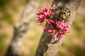Redbuds closeup pink red buds growing on trunk of small young redbud tree Royalty Free Stock Photos