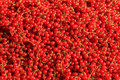Redcurrant abudance harvested thanks to a lot of sun light Stock Images