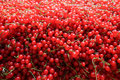Redcurrant as a wall of berries Stock Photography