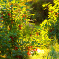Redcurrant bush during a summerday backlit ribes rubrum Royalty Free Stock Photography