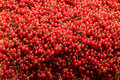Redcurrant piled and ready for juice making Stock Image