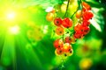 Redcurrant red currant in the rays of sunlight Stock Photography