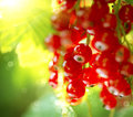 Redcurrant. Ripe red currant berries Royalty Free Stock Photo