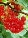Redcurrants Royalty Free Stock Photo