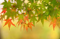 Reddening japanese maple Royalty Free Stock Photography