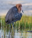 Reddish egret with bright red head of breeding colors Royalty Free Stock Photo
