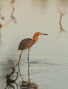 Reddish egret with caught fish a egretta rufescens has a tiny in a shallow water lagoon of cuba Stock Image