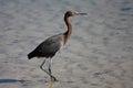Reddish egret egretta rufescens in florida north america Royalty Free Stock Photography