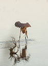 Reddish egret hunting in a swamp egretta rufescens hunts for fishes the shallow waters of cuban Stock Photos