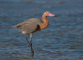 Reddish egret photograph of a beautiful hunting for food in the shallow waters on the gulf coast of texas Royalty Free Stock Photo