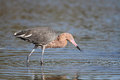 Reddish Egret Stalking its Prey Stock Photo