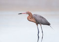Reddish egret standing in water with small reflection on pastel colored background Royalty Free Stock Photography