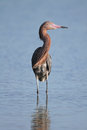 Reddish Egret Wading in a Shallow Pond Stock Photos