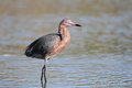 Reddish Egret Wading in a Shallow Pond Stock Image