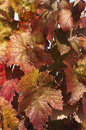 Reddish foliage Stock Image