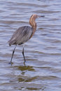 Reddish heron Royalty Free Stock Photography