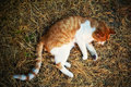 A reddish tomcat callousing out in nature Royalty Free Stock Images