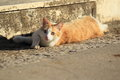 Reddish and white cat lying on the street Royalty Free Stock Photo