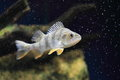 Redfin perch floating in water Stock Images