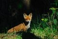 Redfox, cup Royalty Free Stock Photo