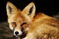 RedFox  (Vulpesvulpes) Royalty Free Stock Photo
