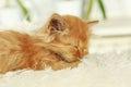 Redhead kitten sleep on white plaid a Stock Images
