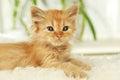 Redhead kitten on white plaid a Stock Photos