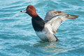 Redhead male readhead duck swimming in the open water flapping its wings Royalty Free Stock Photos