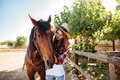 Redhead woman cowgirl taking care of her horse on farm Royalty Free Stock Photo
