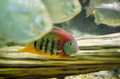 Redheaded severum swimming with other fish in a tank Royalty Free Stock Photo