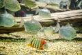 Redheaded severum swimming with silver fish in aquarium Stock Photo