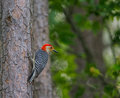 Redheaded woodpecker clinging to tree trunk Royalty Free Stock Photography