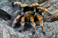 Redknee tarantula sitting on a tree Stock Photos