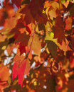 The reds have it sugar maple leaf vibrant red stands out on an autumn day in virginia photo made november Stock Photo