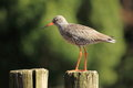 Redshank Stock Images