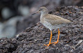 Redshank Icelandic Royalty Free Stock Photography