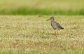 Redshank standing on mowed grass Royalty Free Stock Photo