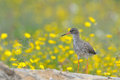 Redshank standing on a rock with flowers and grass in the background Royalty Free Stock Images
