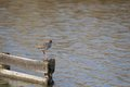 Redshank stands on a pole in the water netherlands Royalty Free Stock Photography