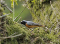 Redstart masculino Fotos de Stock Royalty Free