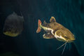 Redtail catfish practocephalus hermioliopterus Royalty Free Stock Photos