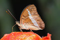 Redtail marquis butterfly close up of euthalia recta monilis feeding on the fruit Royalty Free Stock Photo