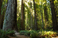 Redwood forest grove in jedediah smith state park ca Royalty Free Stock Image