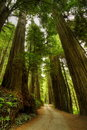 Redwood Forest Road Stock Images