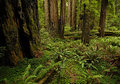 A redwood forest scene in northern california Stock Images
