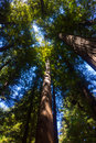 Redwood Forest Trees Royalty Free Stock Photo