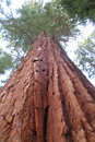 Redwood Giant Stock Photo